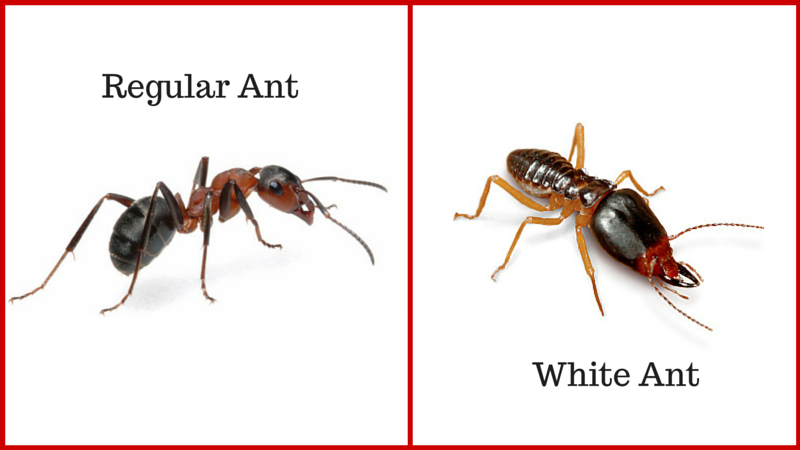 Differences Between Regular Ants And White Ants