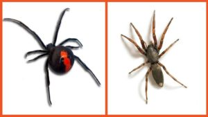 redback and whitetail spider