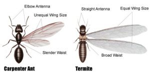Termite and ant difference