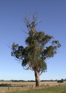Stressed gum tree from large termite nest present