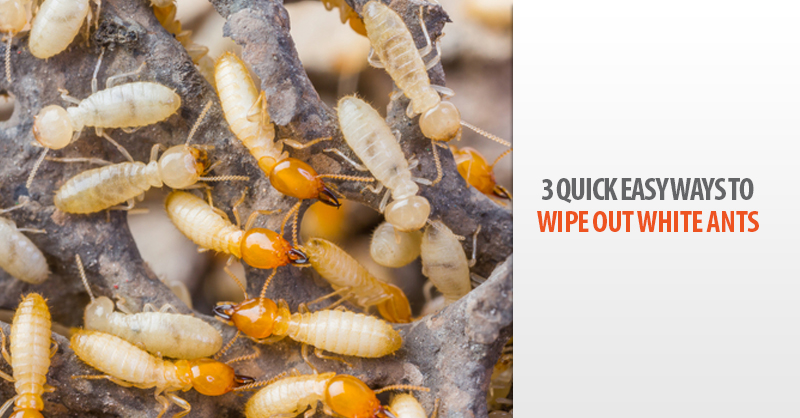 3 Quick Easy Ways To Wipe Out White Ants