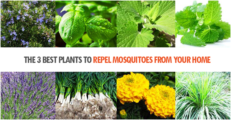 The 3 Best Plants To Repel Mosquitoes From Your Home