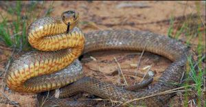 Eastern Brown snake dubbo
