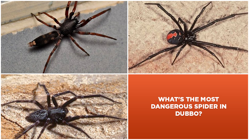 Q & A: What's the most dangerous spider in Dubbo?