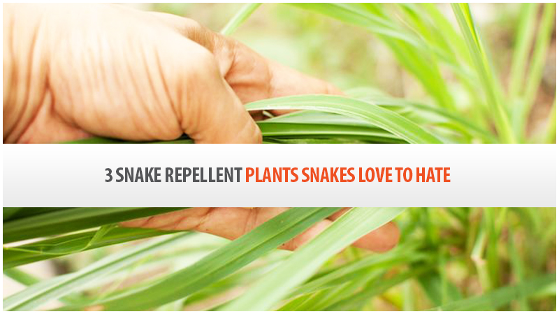 3 Snake Repellent Plants Snakes Love To Hate