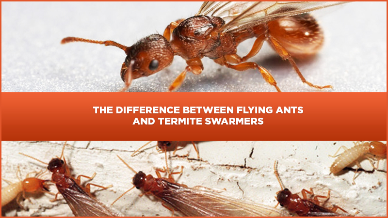 Learn The Difference Between Flying Ants And Termite Swarmers