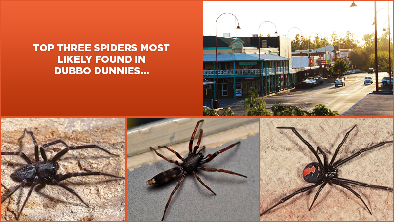 Top 3 Spiders Most Likely To Be Found in Dubbo Dunnies
